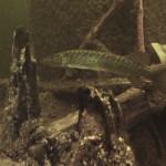 vinkeveen 44 150x150 Vinkeveen / Netherlands: predators...