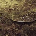 vinkeveen 53 3 150x150 Vinkeveen / Netherlands: predators...